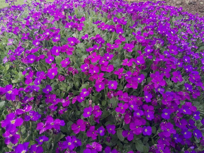 Flowers Growth Many Flowers Abundance Purple Green And Purple Green And Purple Flowers Flower Nature Full Frame Backgrounds Blooming Close-up Freshness Spring Springtime Spring Blooms Blooming Flowers Garden Flowers Purple Flowers Garden Smartphonephotography HuaweiP9 Plants And Flowers Plants And Garden