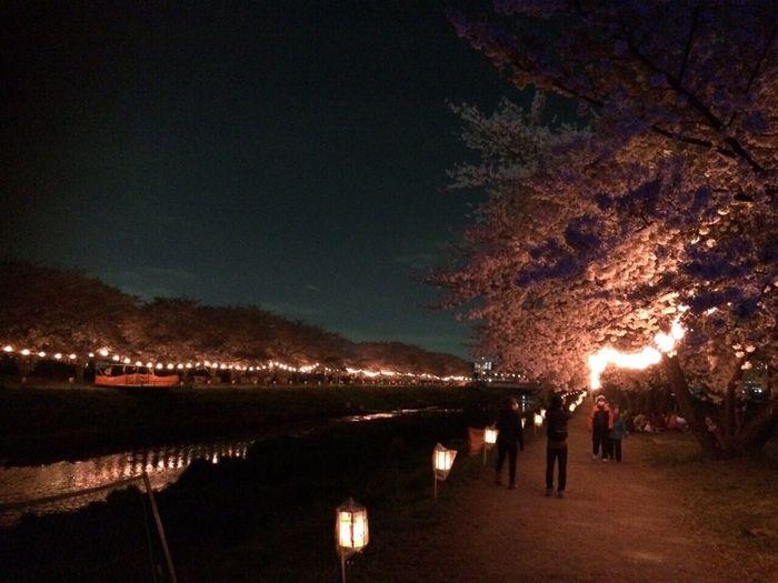 夜桜🌸 yozakura🌸