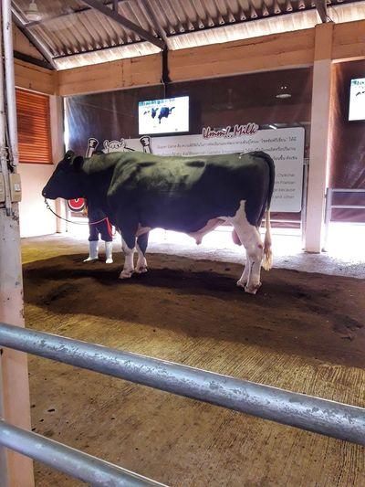 BIG Learning Bull Edication Farm Cowbreeder Pets Livestock Built Structure Domesticated Animal Tag Dairy Farm