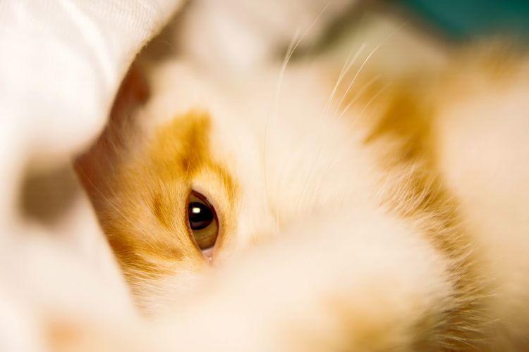 Eyeball Pets Eyesight Human Eye Domestic Cat Feline Portrait Gold Colored Eye Watching Hiding