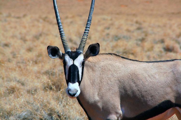 Close-up of gemsbok on field