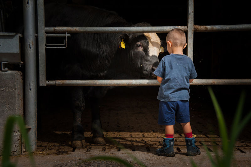 Rear view of boy standing by cow