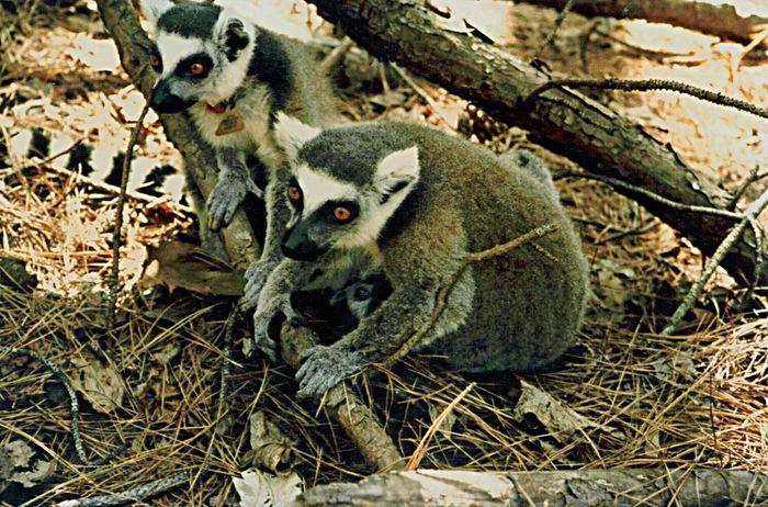 Lemur Catta Ringtailedlemur Free Ranging Duke Lemur Center Endangered species Hanging Out Taking Photos Enjoying Life Hidden Gems