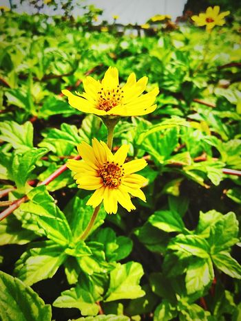 World is nature! Yellow Refreshing Fabulous ♥ Riverside Hill Beautiful Places Mobile Photography God Is Great. Flower Collection Flowers