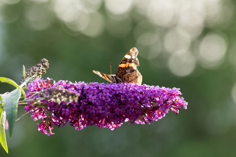 Butterfly sitting on a flower August Buddleja Davidii Animal Themes Animal Wildlife Animals In The Wild Beauty In Nature Butterfly Bush Close-up Day Flower Flower Head Focus On Foreground Fragility Freshness Growth Insect Nature One Animal Outdoors Perching Petal Plant Pollination Purple Summer Lilac