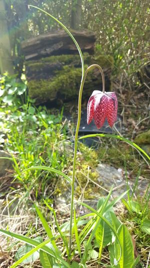 Chess Flower Schachbrettblume Nature Blume Plant Natur Flower Spring