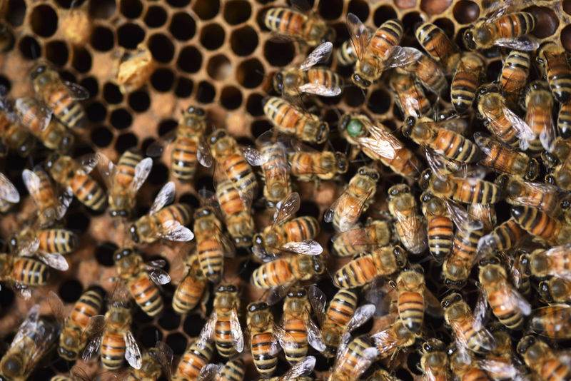 Bee nectar nests, the production of honey. Honeycomb Queen Bee Agriculture Animal Themes Animal Wildlife Animals In The Wild APIculture Bee Beehive Beekeeping Beekeeping Box Beekeeping Tools Close-up Colony Day Honey Honey Bee Honeycomb Insect Large Group Of Animals Nature No People Outdoors Reward Sweet