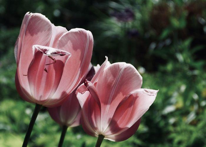 Close-up of pink rose flower in park