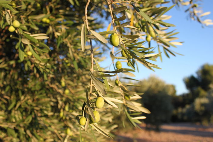 Close-up Focus On Foreground Nature Olive Plantation Olive Tree Olives Olives & Olives Olives Leafs Olives On Branch Provence Provenceessentials Tree