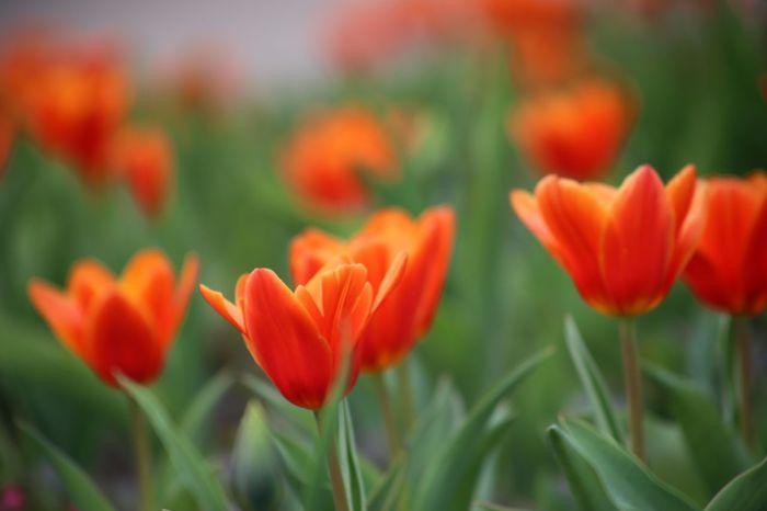 Red Tulips Red Tulips Up Close Red Tulip Tulipa Kaufmanniana Petals Seerosentulpe