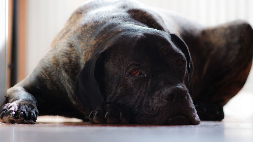 Amazing Dog Amazing View Animal Themes Big Ben Cane Corso Close-up Day Decoration Dog Dog Posing For The Dog Posing For The Camera Domestic Animals Guard Home Interior Indoors  Look In His Eyes Lying Down Mammal No People One Animal Pets Relaxation Serious Look