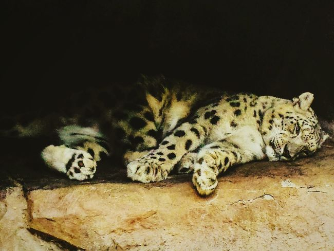 Cat Big Cat Lepard Zoo Sleeping