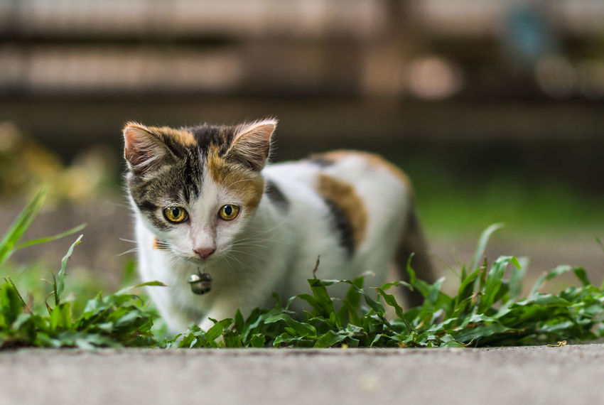 Beautiful Cat Beautiful Cute Cat Kitty Meow Adorable Cat  Animal Themes Cat Thai Claws Day Domestic Animals Domestic Cat Feline Ginger Gray Kitten Mammal Mammals No People Pet Pets Purebred Scratching Tiger Whisker White