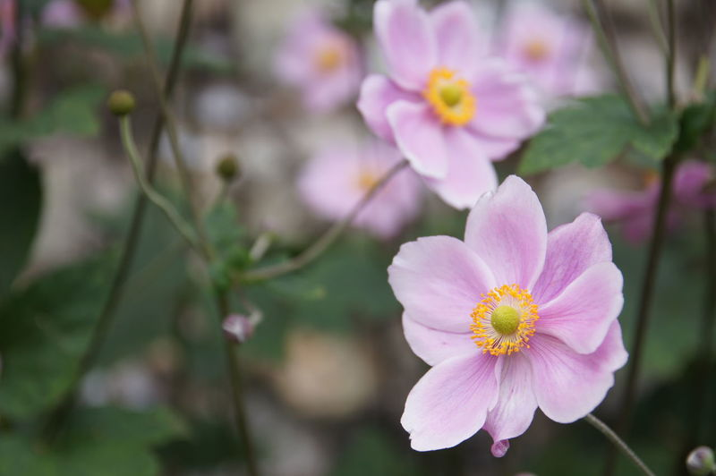 Purple Flowers in Focus Flower Flowering Plant Fragility Vulnerability  Freshness Plant Beauty In Nature Petal Growth Close-up Pink Color Inflorescence Flower Head Focus On Foreground Pollen Day Nature No People Botany Outdoors