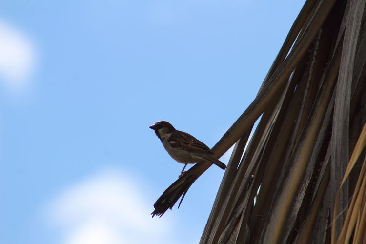 Close-up low angle view of sparrow against blue sky