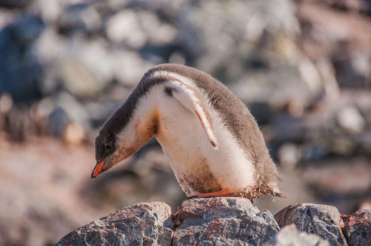 Ice Ziwang Ziseetheworld Antarctic Peninsula Antarctica Gentoo  Gentoo Penguin Penguin Gentoo Penguin Chick Penguin Chick Penguin Poo