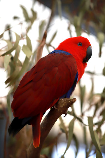 I am red head Vertebrate Bird Animal Themes Animal Animal Wildlife Animals In The Wild Tree Parrot Perching Branch One Animal Focus On Foreground Plant Close-up Red No People Nature Day Beauty In Nature Feather