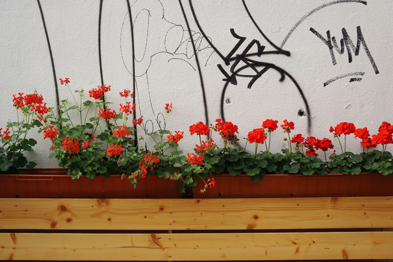 plant, flower, flowering plant, wall - building feature, growth, red, nature, freshness, no people, wood - material, beauty in nature, potted plant, architecture, day, built structure, fragility, outdoors, vulnerability, wall, close-up, flower pot