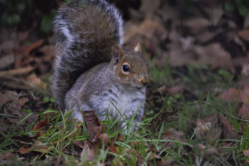 Animal Themes Animal Wildlife Animals In The Wild Close-up Day Feeding  Field Grass Grey Squirrel Mammal Nature Nature On Your Doorstep Nature Photography Nature_collection No People One Animal Outdoors Sciurus Carolinensis; Squirrel Wildlife Wildlife Photography