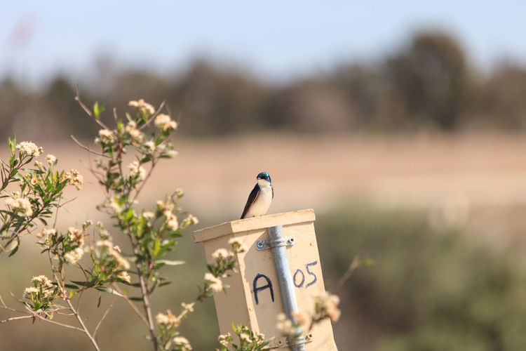 Blue Tree swallow bird, Tachycineta bicolor, sits on a nesting box in San Joaquin wildlife sanctuary, Southern California, United States Animal, Bicolor, Bird, Blue, California, Close, Color, Fauna, Focus, Green, Iridescent, Photo, Photograph, Selective, Southern, Swallow, Tachycineta, Tree, Up, Usa, White, Wildlife, Female, Nest, Fly, Soar, Wing, Avian, Male, Spring Close-up Day Focus On Foreground Nature No People Outdoors Selective Focus