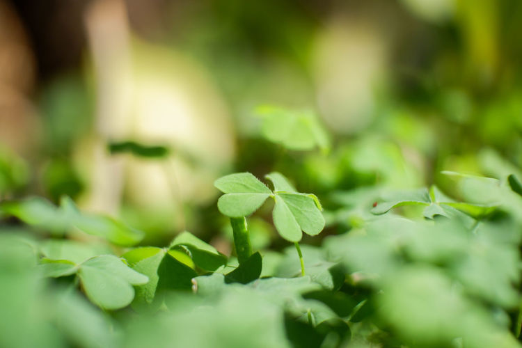 Close-up Nature No People Day Outdoors Beauty In Nature Growth Plant Selective Focus Leaves Green Color Freshness Leaf Plant Part Beginnings Green Environment Tranquility Food And Drink Food Clover EyeEm Best Shots EyeEmNewHere EyeEm Nature Lover