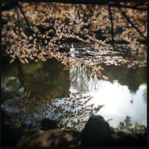 Sakura Sakura2013