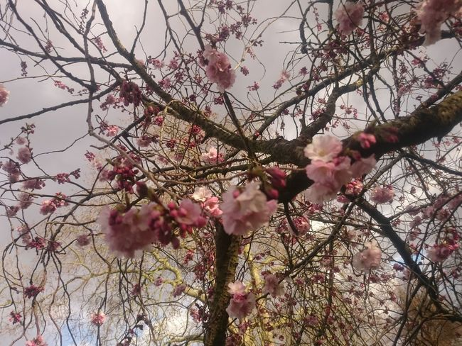 Beauty In Nature Blossom Branch Cherry Blossom Cherry Tree Close-up Flower Flower Head Flowering Plant Fragility Freshness Growth Low Angle View Nature No People Outdoors Pink Color Plant Selective Focus Sky Spring Springtime Tree Twig Vulnerability