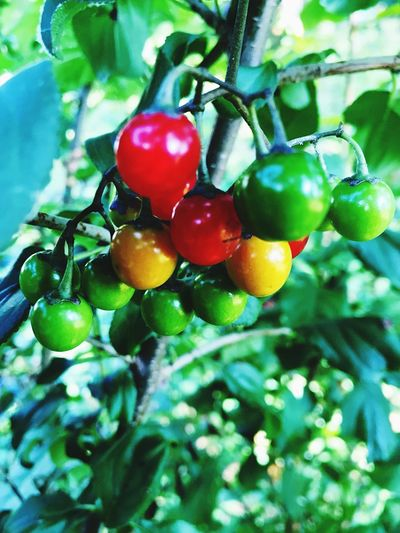Beauty In Nature Berry Fruit Bunch Close-up Day Focus On Foreground Food Freshness Fruit Green Green Color Growing Growth Leaf Nature No People Organic Outdoors Plant Red Ripe Selective Focus Tree