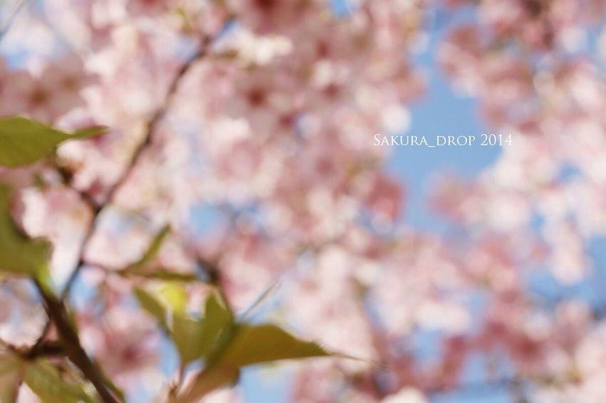 Prayforjapan Sakuradrop 咲く EyeEm Nature Lover