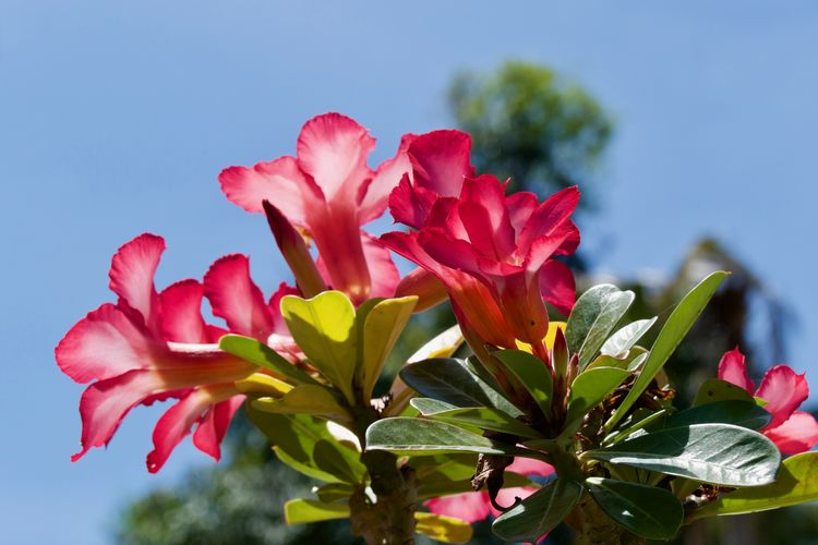 Adenium Obesum Apocynaceae Family Desert Rose Low Angle Shot Beauty In Nature Blooming Blossoms  Close-up Flower Flower Head Flowering Plant Focus On Foreground Fragility Growth Inflorescence Leaf Nature Outdoors Petal Pink Color Plant Plant Part Tropical Plants Vulnerability  Wüstenrose