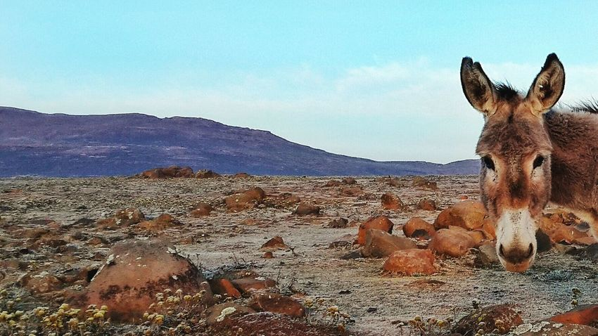 This friendly fella I met on a trip into Lesotho while partaking in a competition by Wrangler to win a bike. Sadly I didn't win the bike but I have this picture, 1 of many, to show for it :) experience over possessions Donkey Lesotho Sani Pass 16x9photography Wrangler Nature On Your Doorstep Wildlife Cute The EyeEm Facebook Cover Challenge Landscape