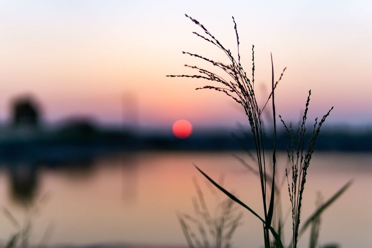 Beautiful sunset on the waterfront. Grass Pink Sky Twilight Beauty In Nature Close-up Evening Evening Sky Focus On Foreground Growth Lake Nature No People Outdoors Plant Scenics - Nature Selective Focus Silhouette Sky Sun Sunset Tranquil Scene Tranquility Twilight Sky Water Waterfront