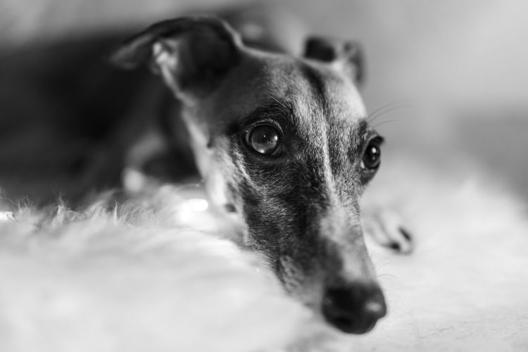 Animal Themes Blackandwhite Christmas Close-up Day Dog Domestic Animals Indoors  Jack Russell Terrier Looking At Camera Mammal No People One Animal Pets Portrait Whippet