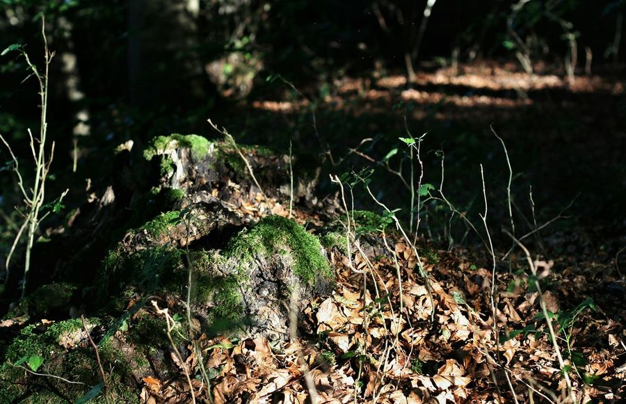 Forrest Tree Tree Trunk Leaf Leafes Plant Outdoors Beauty In Nature Non-urban Scene Selective Focus Botany Nature Nature_collection Nature On Your Doorstep Moss Tranquil Scene Light And Shadow Taking Photos