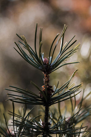 Pine EyeEm Nature Lover Freshness Macro Photography Nature Nature Photography Plant Plant Part Wildlife & Nature Beauty In Nature Bokeh Bokeh Photography Branch Close-up Day Forest Forest Photography Fragile Fragility Macro Nature_collection No People Outdoors Plant Selective Focus Tree