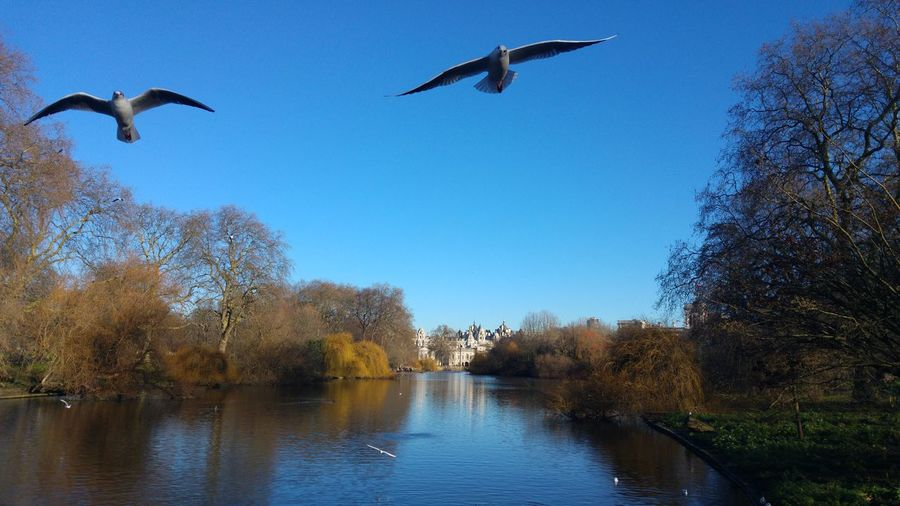 Low angle view of seagulls flying above river