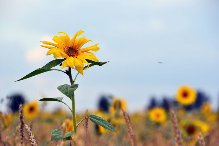 Sunflower field. Kemerovo region, Siberia, Russia Botany Close-up Flower Flower Head Kemerovo Region Nature Outdoors Plant Russia Selective Focus Siberia Sky Sunflower Sunflower Field Sunflowers Yellow EyeEm Selects