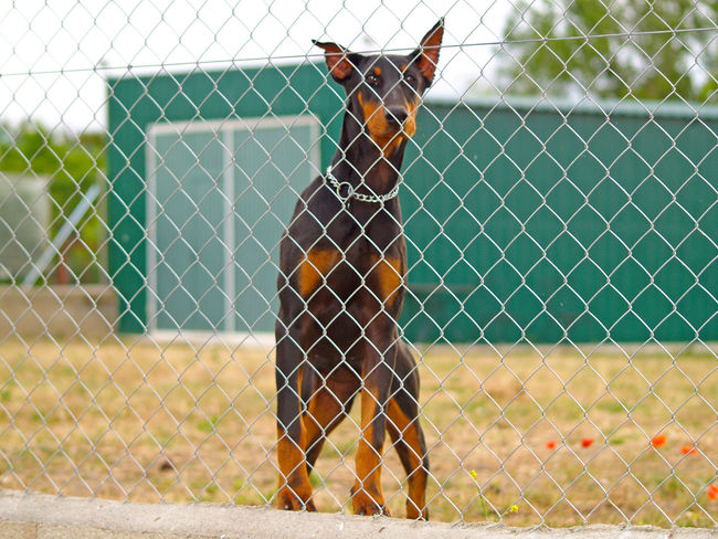 Alert Alert Dog Animal Animals Chainlink Fence Danger Dangerous Dangerous Animals Dangerous Dog Day Defense Defense, Security, Shielding, Preservation, Conservation, Safekeeping, Safeguarding, Safety, Sanctuary, Shelter, Refuge Doberman  Dog Dogs Dogslife Full Length Outdoors People Privacy Private Private Zone Safety Security