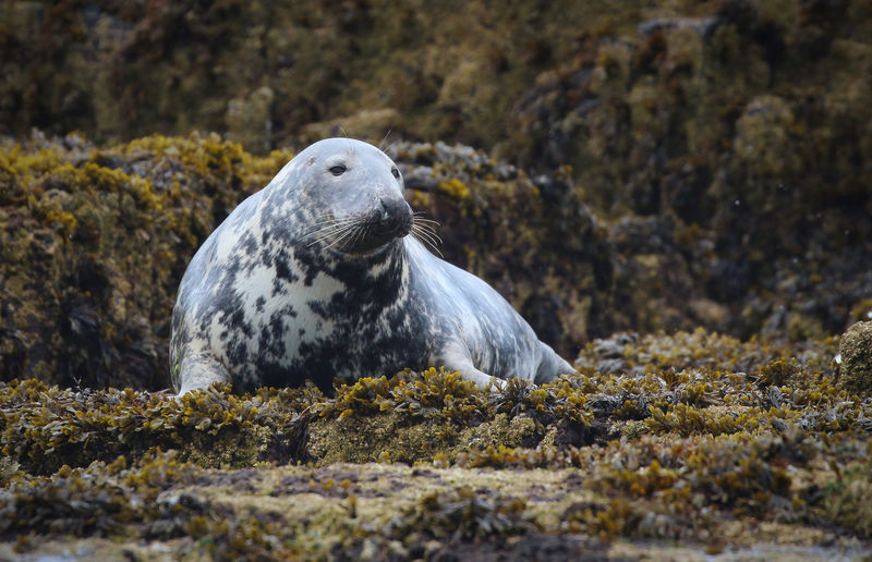 Close-up of seal on rock at beach