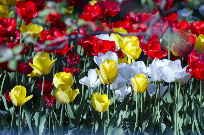 flowers Beauty In Nature Close-up Day Flower Flower Head Flowerbed Flowering Plant Fragility Freshness Growth Inflorescence Multi Colored Nature No People Outdoors Petal Plant Red Springtime Tulip Vulnerability  Yellow