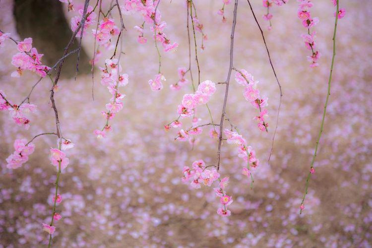 しだれ梅 日本画を見ているような錯覚に陥りました。 Japan Photography OSAKA Japan Plum Spring Flower Head Flower Tree Branch Springtime Pink Color Beauty Blossom Close-up Plant Plum Blossom