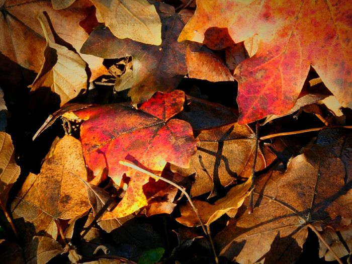 Autumn Leaf Change Nature Leaves Maple Leaf Backgrounds Close-up Beauty In Nature Outdoors No People Maple Tree Day