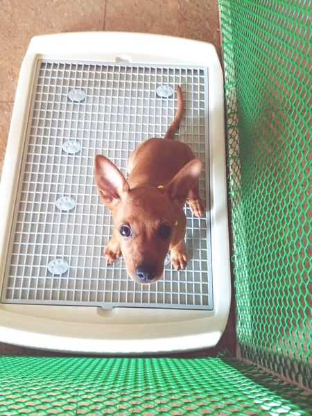 I just wanna pee. No shower. Mini Pincher Minipinscher Minature Pincher Pets Doglover Dog Love Dogs Dog Doglovers Dog❤ Dog Lover Dogslife Pet Dog Life