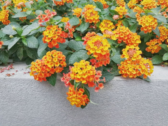 High angle view of orange flowers