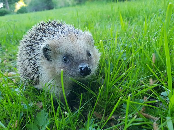 Hedgehog Portrait Field Animal Themes Close-up Grass Green Color Grass Area Blade Of Grass