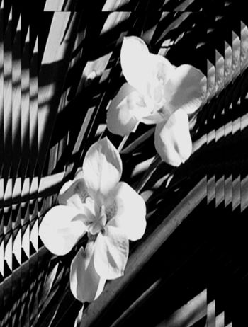 Flower Petal Flower Head Fragility No People Growth Beauty In Nature Close-up Nature Freshness Blooming Day Orchid Frangipani Outdoors Recursion Pattern Broken Patterns