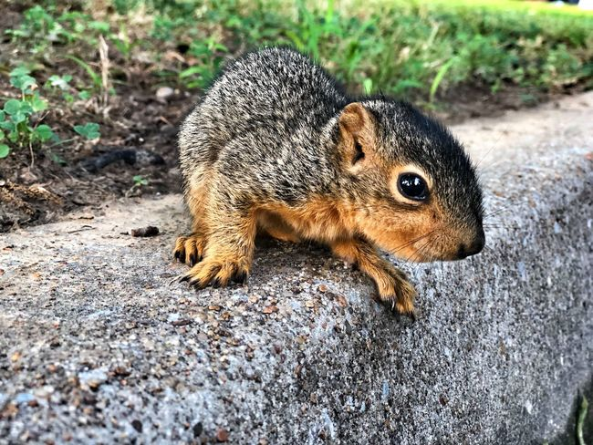 Brave baby squirrel let me pet his soft coat Squirrel Squirrel! Animal Themes Animal One Animal Animal Wildlife Animals In The Wild Mammal Vertebrate Rodent Field Day Nature Squirrel Close-up Outdoors Full Length Animal Body Part Sunlight