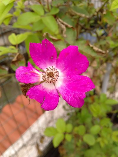 🌹🌹🌹on my terrace 🌹🌹🌹 Flower Head Flower Pink Color Petal Close-up Plant Wild Rose Botany