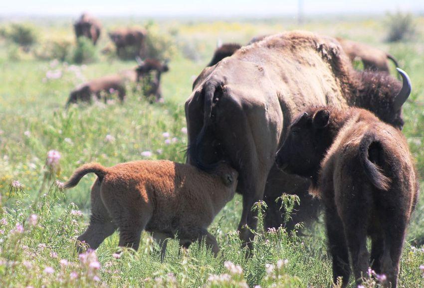 Drinking Baby bison Grass Nature Wildlife Bison Herd Bison Drinking Baby Bison The Great Outdoors - 2018 EyeEm Awards