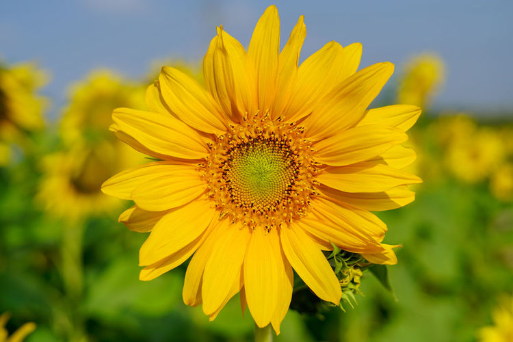 Sunflower Close up Agriculture Ijas Muhammed Photography India Sunflower Beauty In Nature Close-up Field Flower Flower Head Flowering Plant Focus On Foreground Fragility Freshness Growth Inflorescence Karnataka Land Nature No People Petal Plant Pollen Sunflower Vulnerability  Yellow